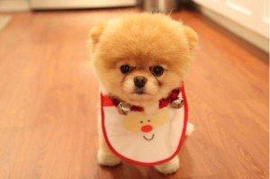 adorable-perro-boo-es-sensacion-de-facebook-07